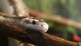 Φίδι αρουραίων απόθεμα βίντεο
