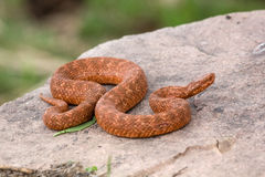 φίδι βράχου στήριξης Στοκ φωτογραφία με δικαίωμα ελεύθερης χρήσης