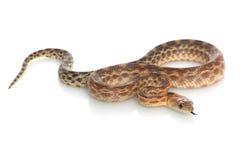 φίδι γοπχερ ακρωτηρίων Στοκ Εικόνα