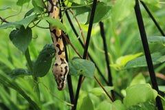 Φίδι και κισσός στοκ εικόνες