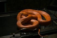 Φίδι καλαμποκιού στο κλουβί στο κατάστημα της Pet Στοκ φωτογραφία με δικαίωμα ελεύθερης χρήσης