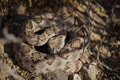 Φίδι κουδουνισμάτων έτοιμο να χτυπήσει τη θερινή ημέρα, καρφωμένο με τη διχάλα OU γλωσσών Στοκ εικόνα με δικαίωμα ελεύθερης χρήσης