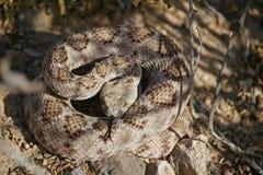 Φίδι κουδουνισμάτων που κουλουριάζεται τη θερινή ημέρα Στοκ Φωτογραφίες