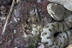 Φίδι - οχιά Στοκ Εικόνες