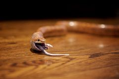 Φίδι που τρώει έναν αρουραίο Στοκ Εικόνες