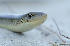 Φίδι στην παραλία Στοκ Εικόνα