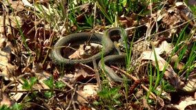 Φίδι στη χλόη φιλμ μικρού μήκους