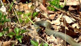 Φίδι στη χλόη απόθεμα βίντεο