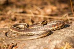 Φίδι στο βράχο στοκ φωτογραφία