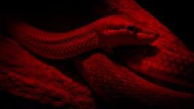 Φίδι στο λαμπτήρα θερμότητας απόθεμα βίντεο