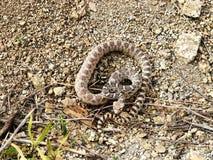 φίδι ταύρων Στοκ φωτογραφία με δικαίωμα ελεύθερης χρήσης