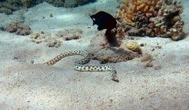 φίδι χελιών που επισημαίν&epsil στοκ εικόνες