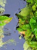 Φίδι χλόης στον ποταμό Tina Στοκ Φωτογραφία