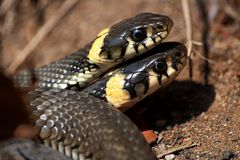 Φίδι χλόης, lat Natrix natrix Φίδια, η πρώτη ημέρα της δραστηριότητας μετά από τη διαχείμαση βιότοπος φυσικός στοκ φωτογραφίες με δικαίωμα ελεύθερης χρήσης