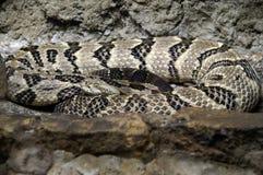 φίδι 2 ριγωτό Στοκ Φωτογραφία