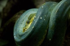 φίδι Στοκ Φωτογραφίες