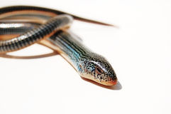 φίδι Στοκ φωτογραφία με δικαίωμα ελεύθερης χρήσης