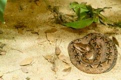 φίδι calloselasma Στοκ φωτογραφίες με δικαίωμα ελεύθερης χρήσης