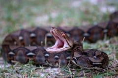 Φίδι Python που ανοίγει το στόμα του στην πάλη στον κήπο στοκ εικόνα