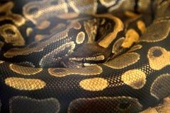 Φίδι python Στοκ φωτογραφία με δικαίωμα ελεύθερης χρήσης