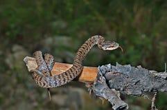 Φίδι (saxatilis Agkistrodon) 18 Στοκ Εικόνες