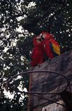 Φίλημα παπαγάλων στοκ φωτογραφίες με δικαίωμα ελεύθερης χρήσης