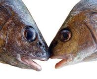 φίλημα ψαριών Στοκ Εικόνες