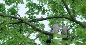 Φίλημα Turtledoves στο δέντρο απόθεμα βίντεο