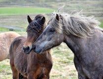 Φίλοι Δύο ισλανδικά άλογα σε επαφή Κόλπος και dapple γκρίζοι στοκ φωτογραφία