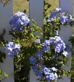 Φίνος χλωμός - μπλε λουλούδια του plumbago Στοκ εικόνες με δικαίωμα ελεύθερης χρήσης