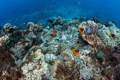Φίτζι Anemonefish και κοραλλιογενής ύφαλος Στοκ Εικόνα