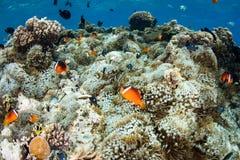 Φίτζι Anemonefish και Anemones Στοκ Φωτογραφία