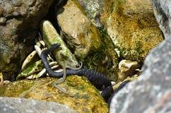 Φίδια νερού σε Μαύρη Θάλασσα (χωρίστε σε τετράγωνα το φίδι, Natrix) Στοκ Φωτογραφίες