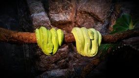 Φίδια στο ζωολογικό κήπο Burgers Στοκ Εικόνα