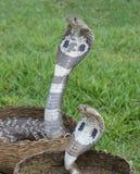 Φίδια Cobra βασιλιάδων στοκ φωτογραφία