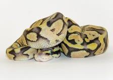 Φίδι βασιλικών/μωρών σφαιρών python στοκ εικόνα με δικαίωμα ελεύθερης χρήσης