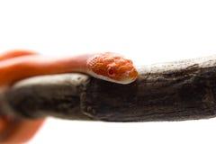 Φίδι καλαμποκιού πυρκαγιάς Hypo Στοκ φωτογραφίες με δικαίωμα ελεύθερης χρήσης