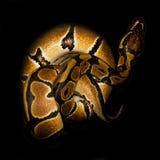Φίδι καλαμποκιού στοκ φωτογραφία με δικαίωμα ελεύθερης χρήσης