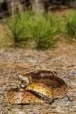 Φίδι καλαμποκιού Στοκ φωτογραφίες με δικαίωμα ελεύθερης χρήσης