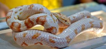 Φίδι καλαμποκιού Στοκ Εικόνες