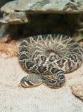 Φίδι κουδουνισμάτων Στοκ εικόνα με δικαίωμα ελεύθερης χρήσης