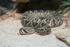 Φίδι κουδουνισμάτων Στοκ Εικόνα