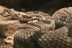 Φίδι κουδουνισμάτων Στοκ Φωτογραφία