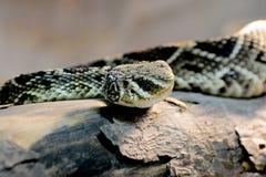 Φίδι κουδουνισμάτων Στοκ εικόνες με δικαίωμα ελεύθερης χρήσης