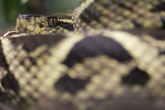 Φίδι με το προσεκτικό μάτι Στοκ Εικόνα