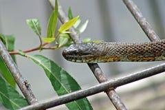 Φίδι νερού Στοκ Φωτογραφίες