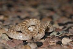 Φίδι νύχτας του Τέξας Στοκ Εικόνες