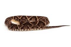Φίδι οχιών κοιλωμάτων Terciopelo που κουλουριάζεται επάνω Στοκ Εικόνα