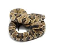 Φίδι που απομονώνεται στο λευκό στοκ φωτογραφίες με δικαίωμα ελεύθερης χρήσης