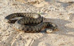 Φίδι που σέρνεται στην άμμο στη στέπα κοντά στον ποταμό του Βόλγα στις ακτίνες του ήλιου ρύθμισης Στοκ Εικόνες